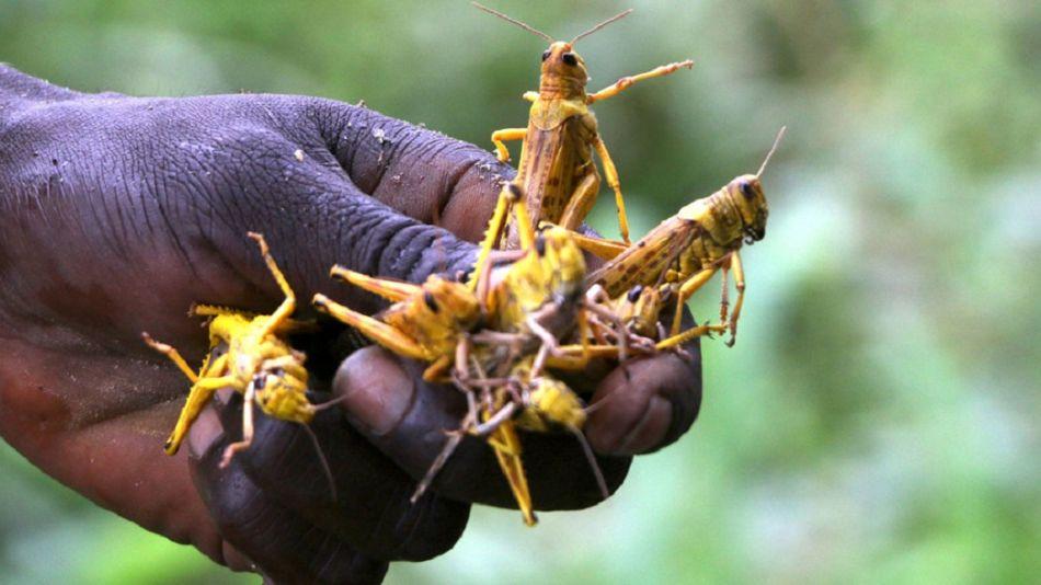 Plaga de langostas en Africa