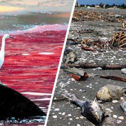 El efecto de las mareas rojas deja un amargo sabor, generando gran mortandad de pingüinos, peces, aves y mamíferos marinos.