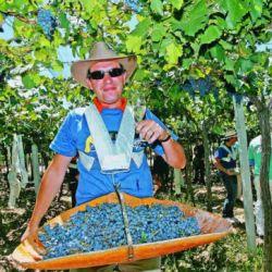 Producción de pasas de uva