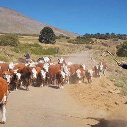 Arrieros sureños en plena labor con el ganado.