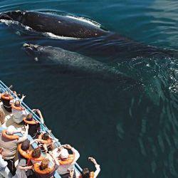 Nado sincronizado con el que la ballena educa al ballenato en la sobrevivencia.