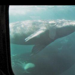 Desde el Yellow Submarine uno se ve cara a cara con los grandes cetáceos. Papá, mamá y ballenato.