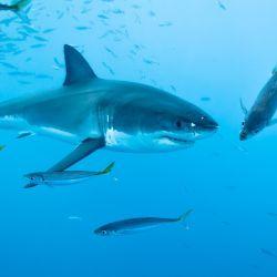 Los científicos involucrados estudiaron la alimentación de 40 tiburones blancos jóvenes de la costa este de Australia.