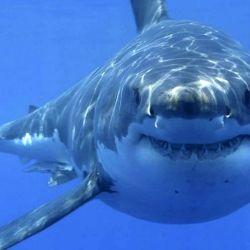 A medida que envejecen, los tiburones se mueven cada vez más, por lo que su dieta incluye más grasa para obtener la energía necesaria.