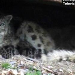 En el video se puede ver a la hembra acurrucada en una pequeña cueva junto a sus dos cachorros.
