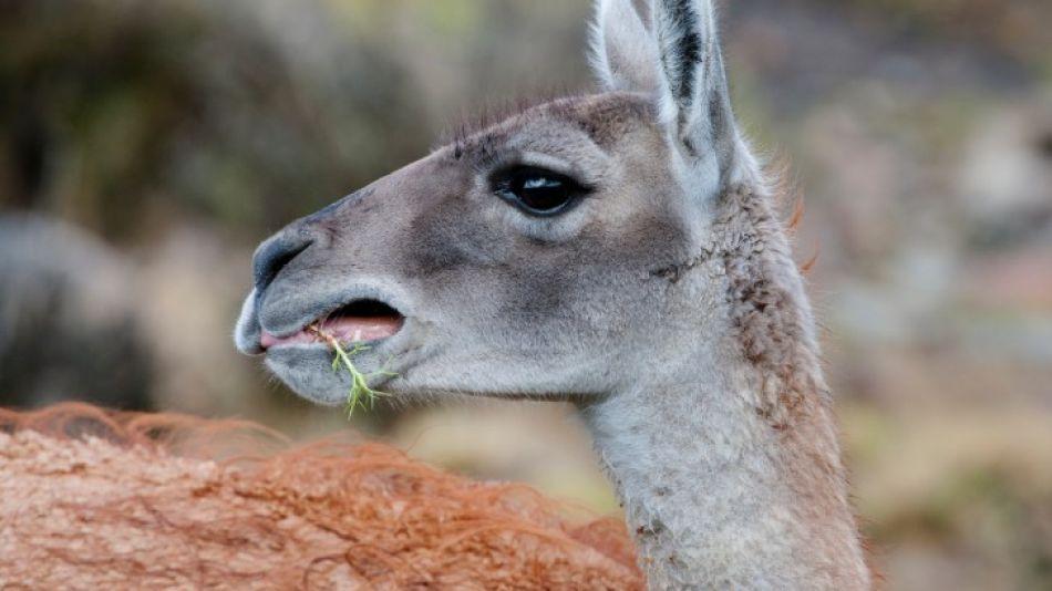 Las poblaciones de guanacos del noroeste de Santa Cruz son de gran relevancia para el país.