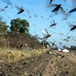 Una plaga de langostas invade el Litoral.