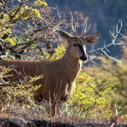 El huemul es una especie en extinción que de a poco se va recuperando en la Patagonia.