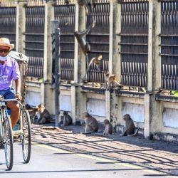 Un hombre montando un rickshaw en una calle llena de macacos de cola larga en la ciudad de Lopburi, a unos 155 km al norte de Bangkok. | Foto:Mladen Antonov / AFP