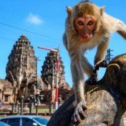Los animales han invadido las calles en buena medida para buscar comida, que antes les era suministrada por los turistas que visitan el templo donde vivían.