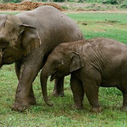 Madre e hijo, elefantes asiáticos rescatados del trabajo forzoso en tailandia.