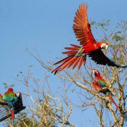 Ya suman 15 los guacamayos que habitan y sobrevuelan el norte del Gran Parque Iberá.