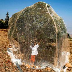 Un niño recoge fruta de un árbol cubierto con una red afuera de su casa en el puesto de avanzada israelí de Givat Arnon, cerca del asentamiento de Itamar en la Cisjordania ocupada al sureste de la ciudad palestina de Naplusa. | Foto:MENAHEM KAHANA / AFP
