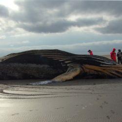 Pescadores hallaron una ballena jorobada varada en la playa, en las inmediaciones del balneario Marisol, Buenos Aires.