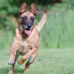 El pastor belga es una de las razas más utilizadas para los perros rescatistas.