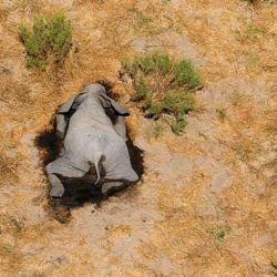 Sorprende la muerte de 350 elefantes en Bostwana.