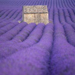 La fotografía muestra un campo de lavanda en Puimoisson, sur de Francia.  | Foto:Christophe Simon / AFP