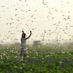 Los agricultores intentan ahuyentar a un enjambre de langostas de un campo en las afueras de Sukkur, en la provincia meridional de Sindh. | Foto:Shahid Ali / AFP