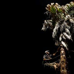 Un trabajador de municipales poda un árbol plam por la noche durante la noche en la ciudad de Gaza, a medida que se alivian las restricciones adoptadas para frenar la propagación del COVID-19. | Foto:MOHAMMED ABED / AFP