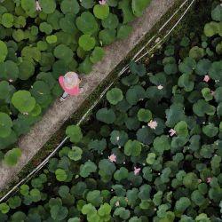 Una vista aérea muestra a un turista caminando entre un estanque de loto en el distrito de Shuangxi, en la ciudad de Nueva Taipei. | Foto:Sam Yeh / AFP