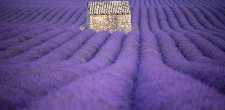 La fotografía muestra un campo de lavanda en Puimoisson, sur de Francia.