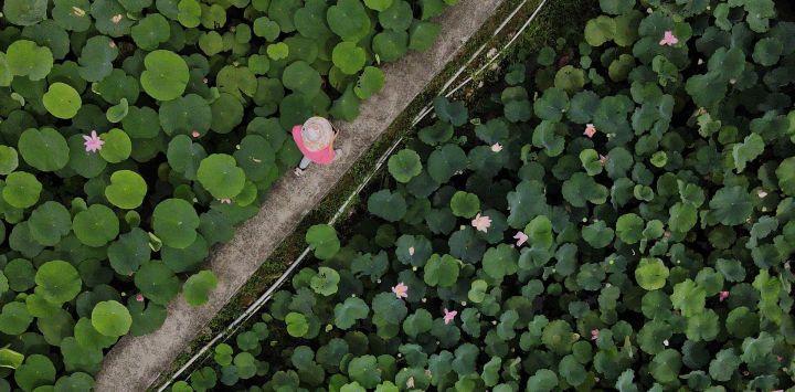 Una vista aérea muestra a un turista caminando entre un estanque de loto en el distrito de Shuangxi, en la ciudad de Nueva Taipei.