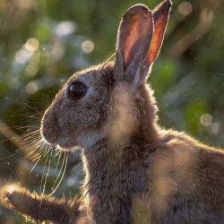 El RHDV2 ha mostrado diferentes cepas en Norteamérica, matando a miles de conejos y liebres.