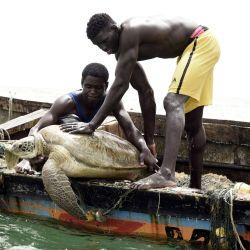 Los pescadores senegaleses volvieron a poner una tortuga marina en el mar después de rescatarla de sus redes de pesca en Joal, Senegal, donde se informa a las personas sobre la importancia de salvar especies en peligro de extinción, que regulan el ecosistema y ayudan a mantener los peces. abundancia. | Foto:Seyllou / AFP