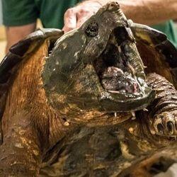 La tortuga caimán es nativa de las desembocaduras de los ríos que confluyen en el Golfo de México.