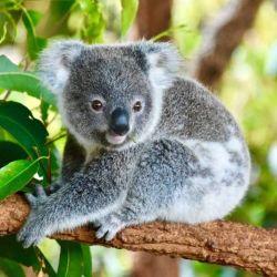Según el ecologista Oisin Sweeney, en el estado de Nuevas Gales del Sur quedaría una población de koalas de entre 15.000 y 20.000 ejemplares.