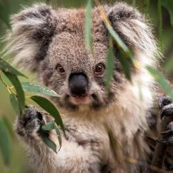 Alrededor de 5.000 koalas murieron el verano pasado a causa de los incendios.