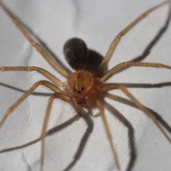 La picadura de la araña violinista es letal ya que su veneno es 15 veces más tóxico que el de una cobra.