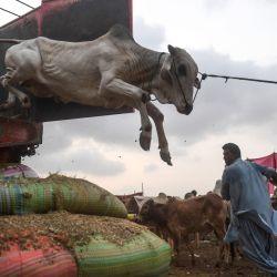 Los comerciantes descargan una vaca de un camión en un mercado de ganado creado para el próximo festival musulmán Eid al-Adha o el Festival del Sacrificio en Karachi. | Foto:Asif Hassan / AFP