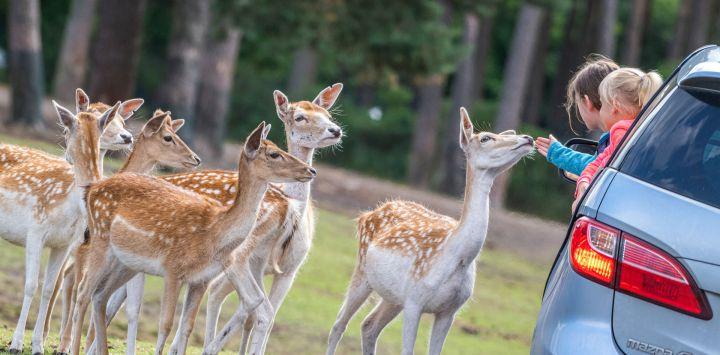 Dos chicas jóvenes miran a los animales y acarician a uno de ellos en el Serengeti-Park Hodenhagen.