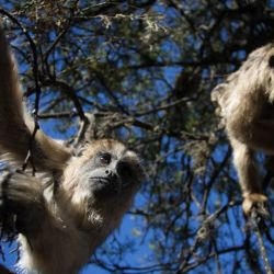Los desprevidos monos fueron descubiertos in fraganti por un conductor que los filmó con su celular.