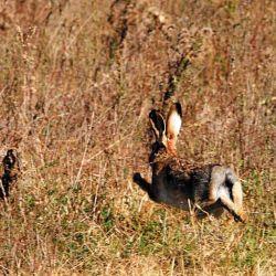 En la provincia de Buenos Aires, y en otros territorios del sur, se acostumbra a cazar liebres para evitar su proceso depredatorio y la multiplicación excesiva de ejemplares.