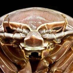 Lo que más llamó la atención de los investigadores fue el hallazgo de una Bathynomus raksasa.