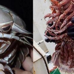 Se trata de un crustáceo que tiene características físicas muy similares a las de una cucaracha.