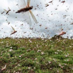 Las autoridades uruguayas están en estado de alerta ante el acercamiento de la nube de langostas desde Argentina.