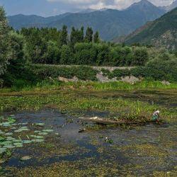 Una mujer recoge raíces de loto de la parte contaminada del lago Dal para alimentar al ganado en Srinagar. | Foto:Tauseef Mustafa / AFP