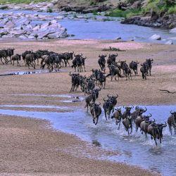Los ñus corren por un lecho de arena del río Sand al llegar a la Reserva Nacional Maasai Mara de Kenia desde el Parque Nacional Serengeti de Tanzania durante el inicio de la migración anual. | Foto:TONY KARUMBA / AFP