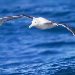 Los albatros tienen una capacidad única para recopilar los datos necesarios para su propia conservación.
