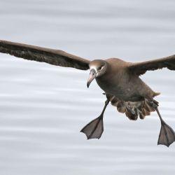 Los machos tienden a alimentarse hacia el sur, más cerca de la Antártida, mientras que las hembras se alimentan más al norte.
