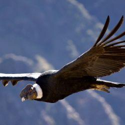 Un grupo de científicos descubrió que un cóndor andino voló 172 km. sin aletear sus maravillosas alas.