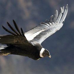 Esta poderosa ave carroñera es capaz de permanecer en el aire durante 5 horas sin mover sus alas.