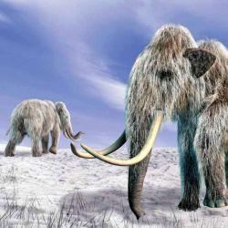 En el permafrost del norte de Siberia se han encontrado varios cadáveres de mamuts congelados bien conservados.