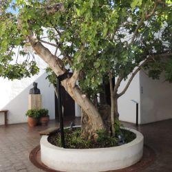 La higuera debajo de la estudiaba Sarmiento sigue estando en el patio de la casa en la forma de un retoño.