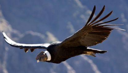 Cuántos kilómetros puede volar un cóndor andino sin batir sus alas