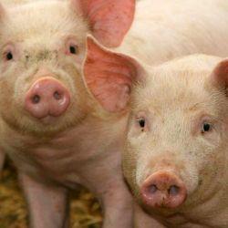 Esta gripe tiene la capacidad de transmitirse de cerdos a humanos.