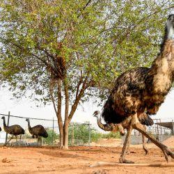 Un trabajador alimenta a las avestruces en un zoológico en la ciudad al-Awir de Dubai. | Foto:Karim Sahib / AFP